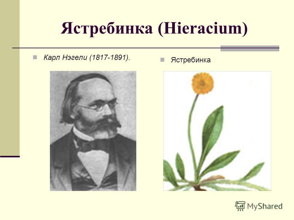 Ястребинка (Hieracium) Карл Нэгели (1817-1891). Ястребинка