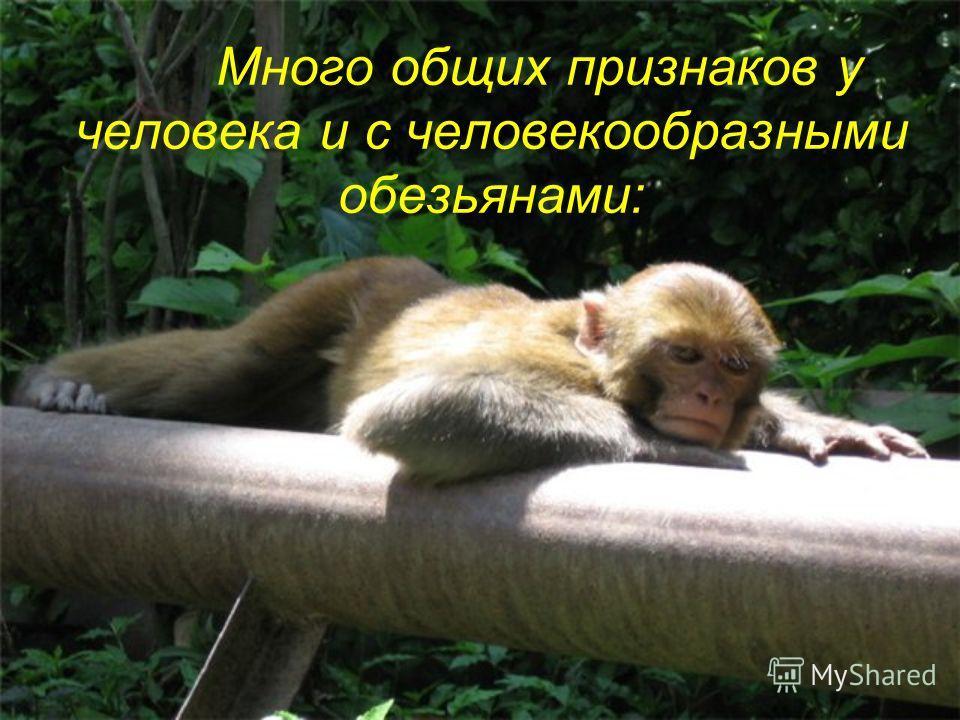Много общих признаков у человека и с человекообразными обезьянами: