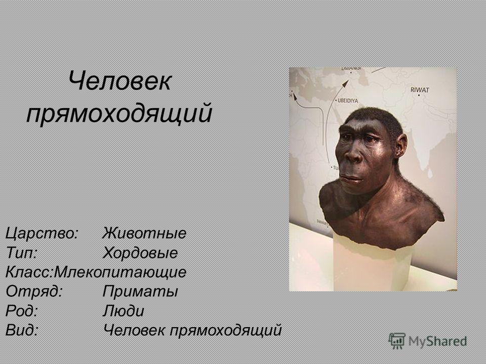 Человек прямоходящий Царство:Животные Тип: Хордовые Класс:Млекопитающие Отряд:Приматы Род: Люди Вид: Человек прямоходящий