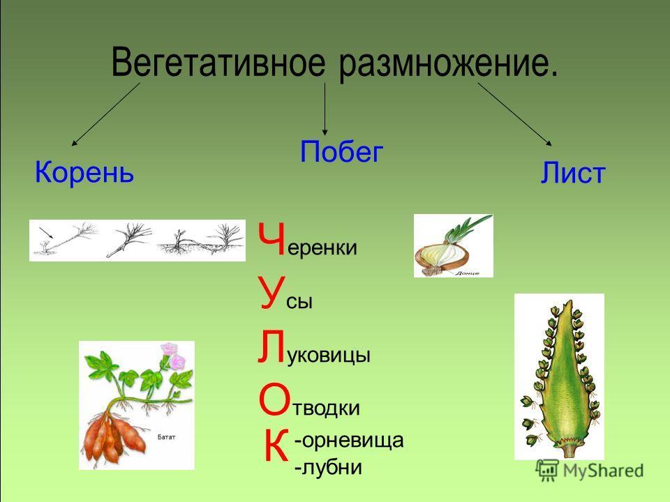Вегетативное размножение. Корень Побег Лист Ч еренки У сы Л уковицы О тводки -орневища -лубни К