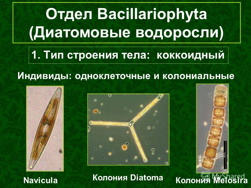 Отдел Bacillariophyta (Диатомовые водоросли) 1. Тип строения тела: коккоидный Индивиды: одноклеточные и колониальные Navicula Колония Diatoma Колония Melosira