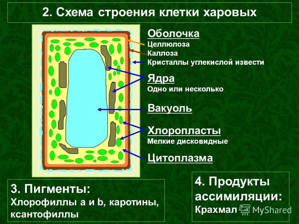 2. Схема строения клетки харовых Вакуоль Хлоропласты Мелкие дисковидные Ядра Одно или несколько Оболочка Целлюлоза Каллоза Кристаллы углекислой извести Цитоплазма 3. Пигменты: Хлорофиллы а и b, каротины, ксантофиллы 4. Продукты ассимиляции: Крахмал