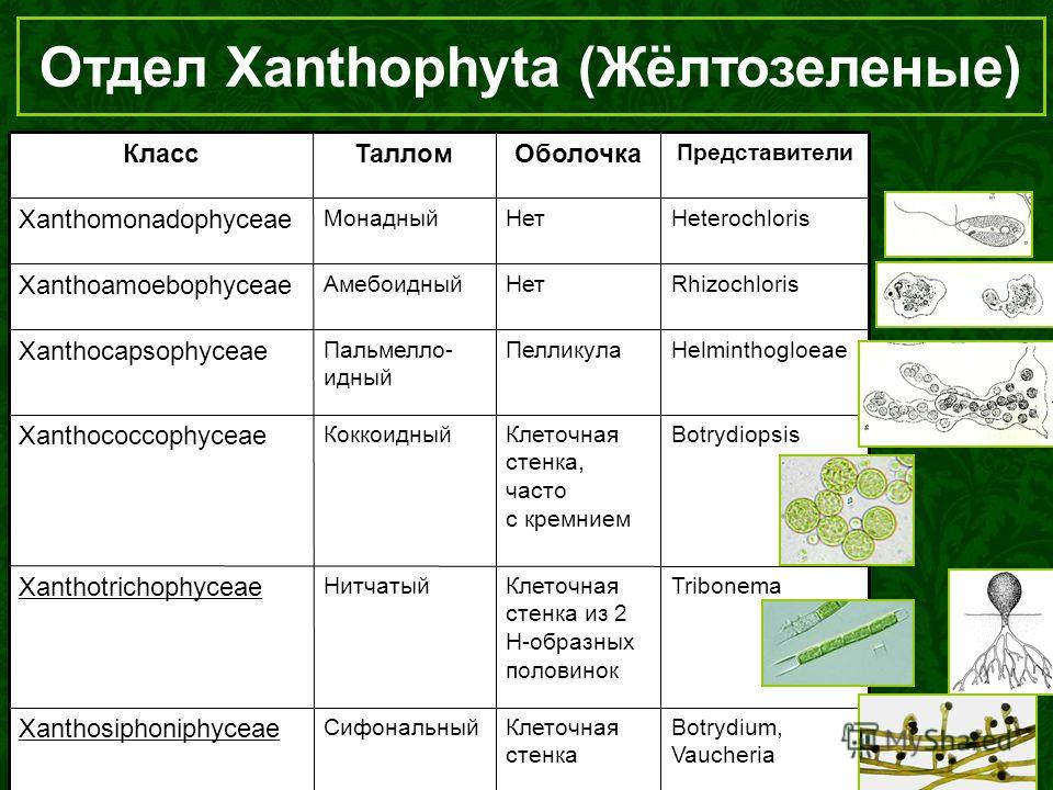 Отдел Xanthophyta (Жёлтозеленые) Botrydium, Vaucheria Клеточная стенка Сифональный Xanthosiphoniphyceae TribonemaКлеточная стенка из 2 Н-образных половинок Нитчатый Xanthotrichophyceae BotrydiopsisКлеточная стенка, часто с кремнием Коккоидный Xanthoc