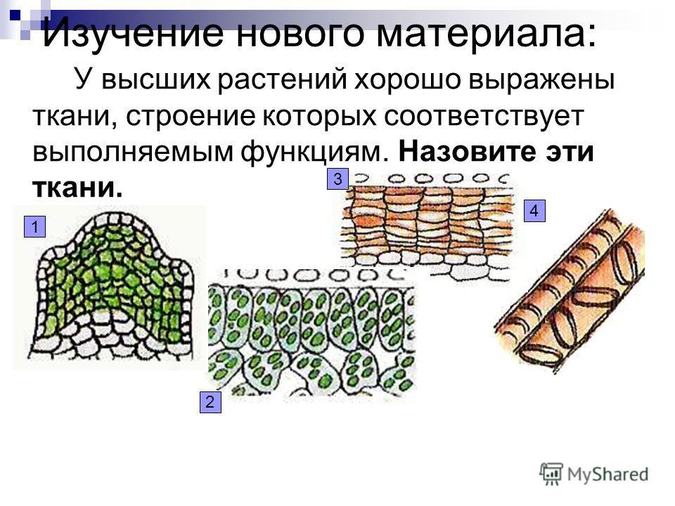 Изучение нового материала: У высших растений хорошо выражены ткани, строение которых соответствует выполняемым функциям. Назовите эти ткани. 1 2 3 4
