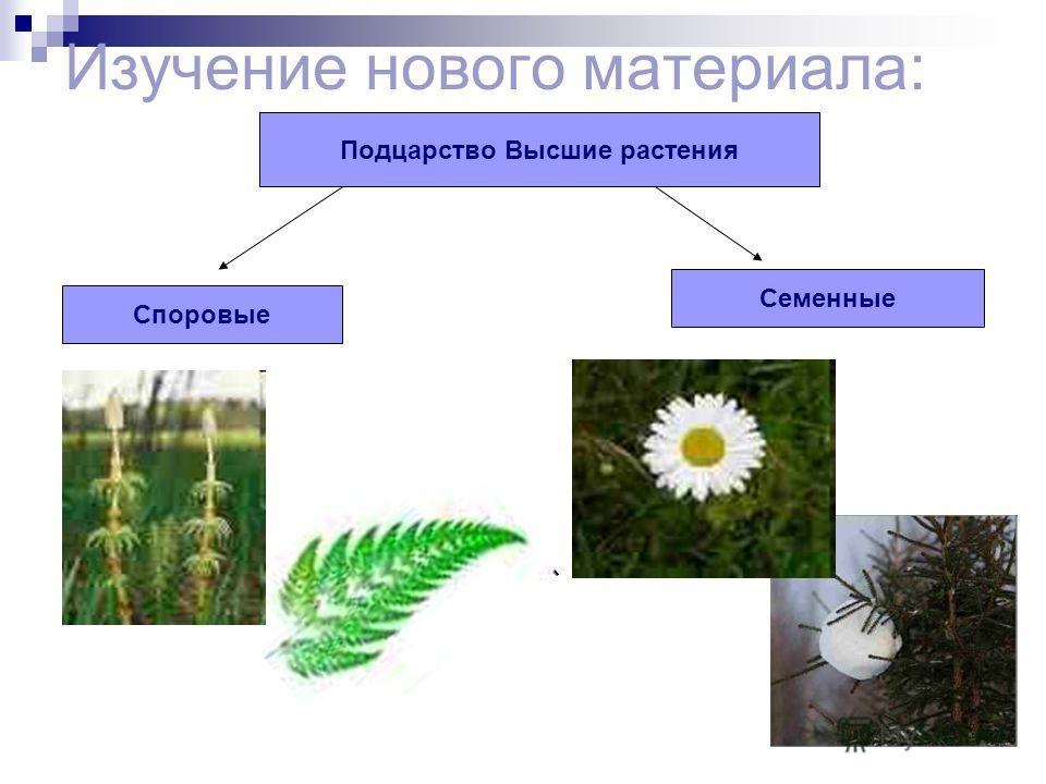 Изучение нового материала: Подцарство Высшие растения Споровые Семенные