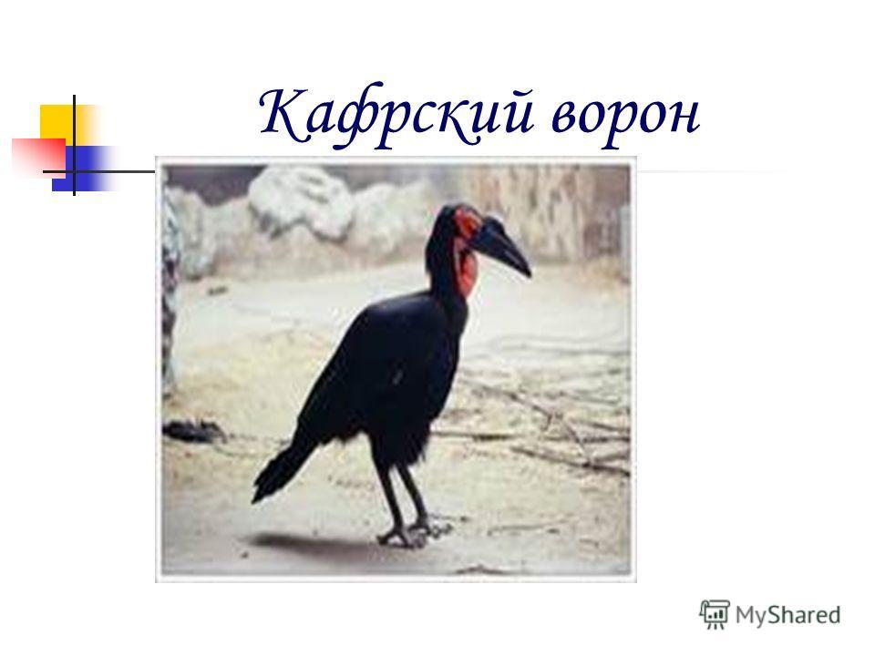 Кафрский ворон