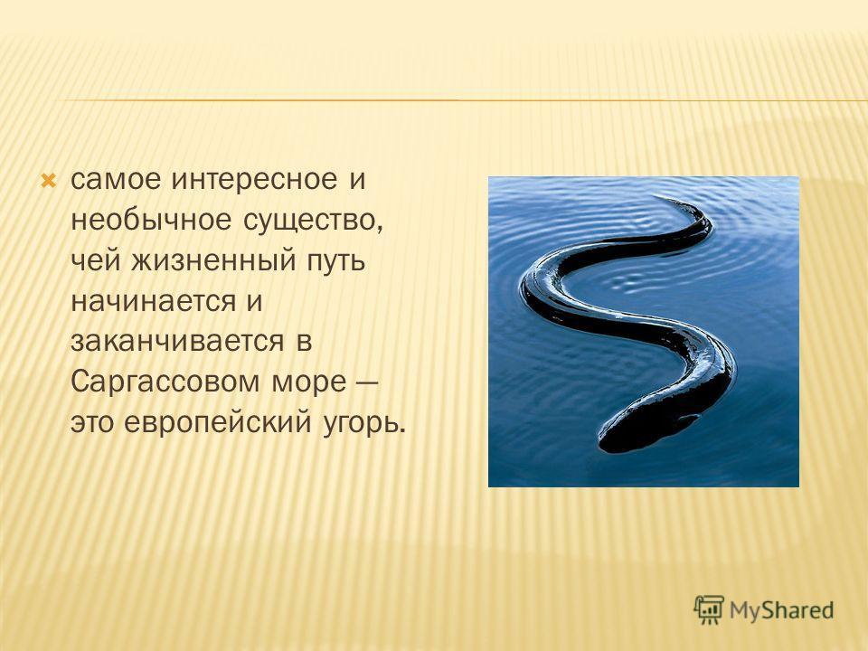 самое интересное и необычное существо, чей жизненный путь начинается и заканчивается в Саргассовом море это европейский угорь.