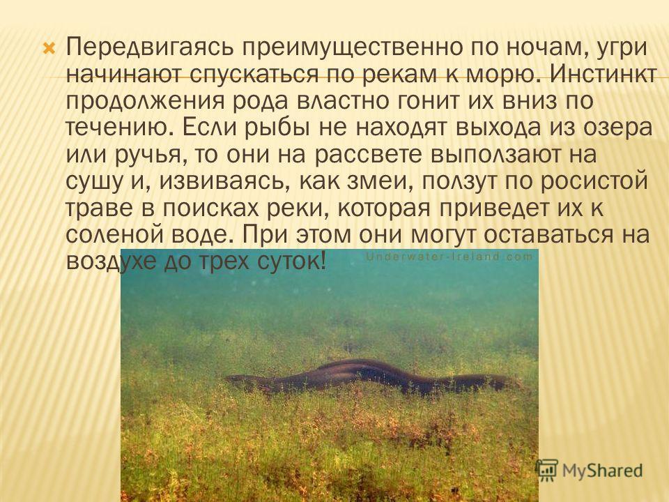 Передвигаясь преимущественно по ночам, угри начинают спускаться по рекам к морю. Инстинкт продолжения рода властно гонит их вниз по течению. Если рыбы не находят выхода из озера или ручья, то они на рассвете выползают на сушу и, извиваясь, как змеи,
