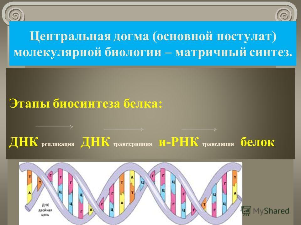 Центральная догма (основной постулат) молекулярной биологии – матричный синтез. Этапы биосинтеза белка: ДНК репликация ДНК транскрипция и-РНК трансляция белок 08.11.2013