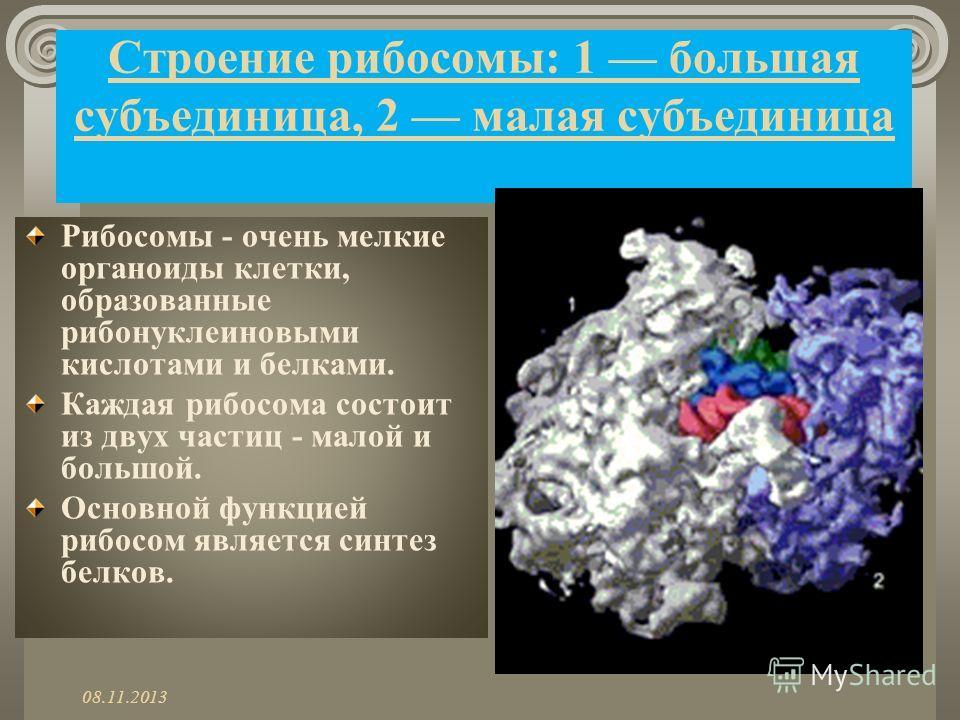 Строение рибосомы: 1 большая субъединица, 2 малая субъединица Рибосомы - очень мелкие органоиды клетки, образованные рибонуклеиновыми кислотами и белками. Каждая рибосома состоит из двух частиц - малой и большой. Основной функцией рибосом является си