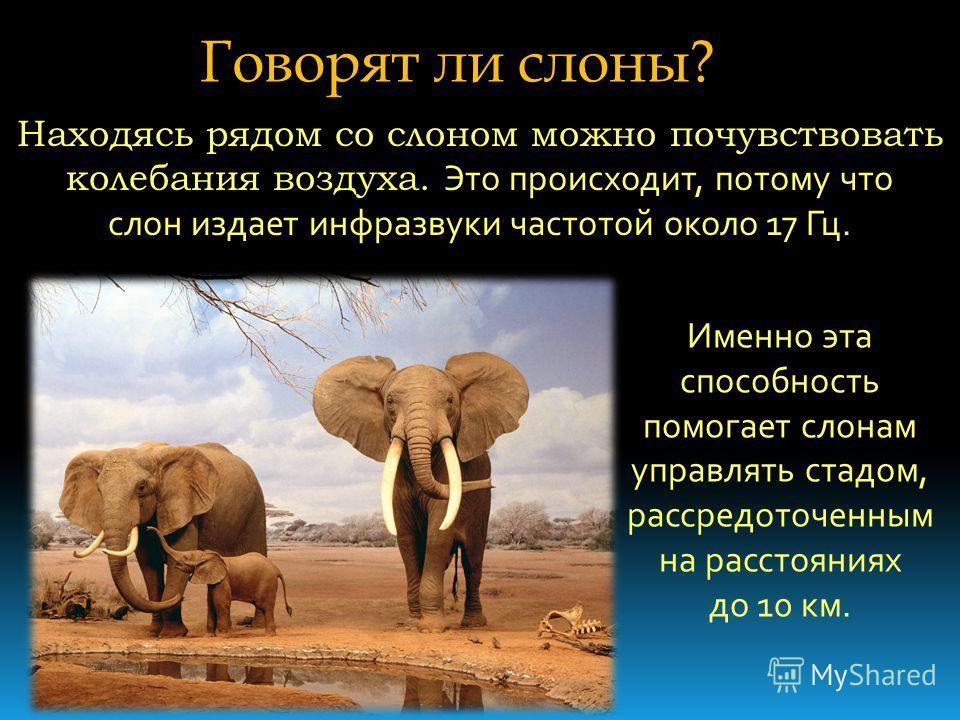Говорят ли слоны? Находясь рядом со слоном можно почувствовать колебания воздуха. Это происходит, потому что слон издает инфразвуки частотой около 17 Гц. Именно эта способность помогает слонам управлять стадом, рассредоточенным на расстояниях до 10 к