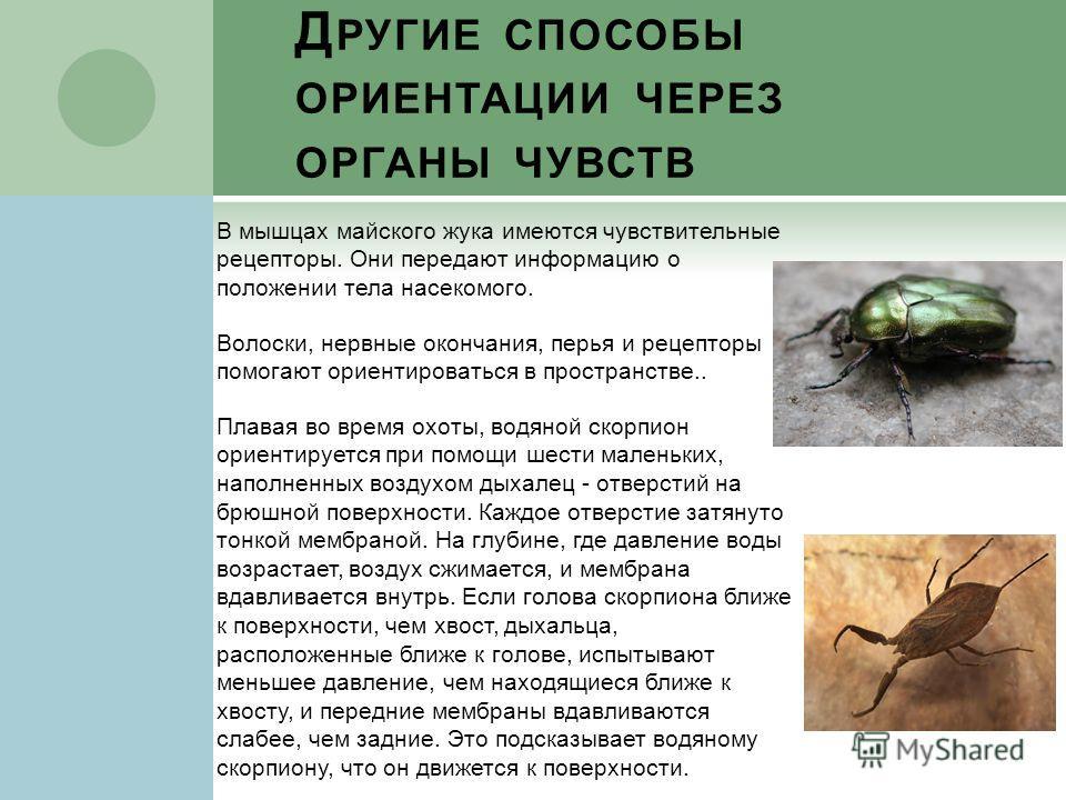 Д РУГИЕ СПОСОБЫ ОРИЕНТАЦИИ ЧЕРЕЗ ОРГАНЫ ЧУВСТВ В мышцах майского жука имеются чувствительные рецепторы. Они передают информацию о положении тела насекомого. Волоски, нервные окончания, перья и рецепторы помогают ориентироваться в пространстве.. Плава