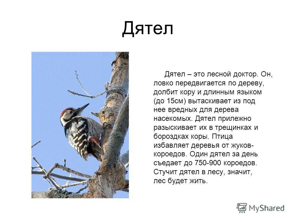 Дятел Дятел – это лесной доктор. Он, ловко передвигается по дереву, долбит кору и длинным языком (до 15см) вытаскивает из под нее вредных для дерева насекомых. Дятел прилежно разыскивает их в трещинках и бороздках коры. Птица избавляет деревья от жук