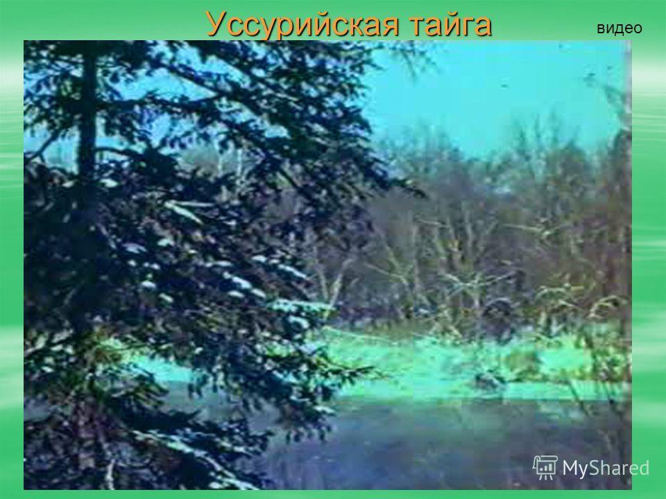 Уссурийская тайга видео