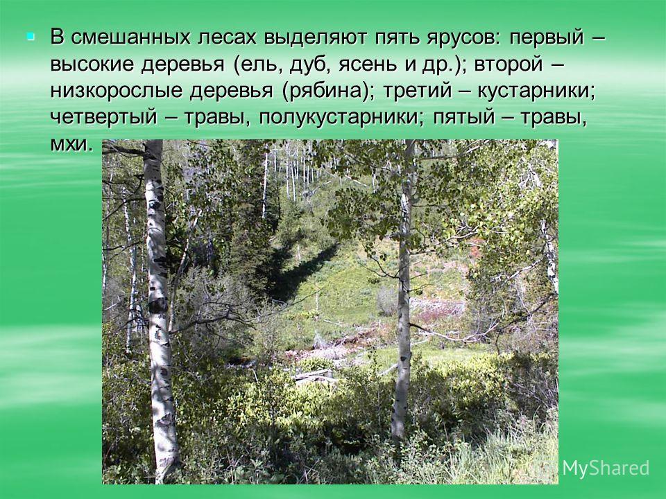 В смешанных лесах выделяют пять ярусов: первый – высокие деревья (ель, дуб, ясень и др.); второй – низкорослые деревья (рябина); третий – кустарники; четвертый – травы, полукустарники; пятый – травы, мхи. В смешанных лесах выделяют пять ярусов: первы
