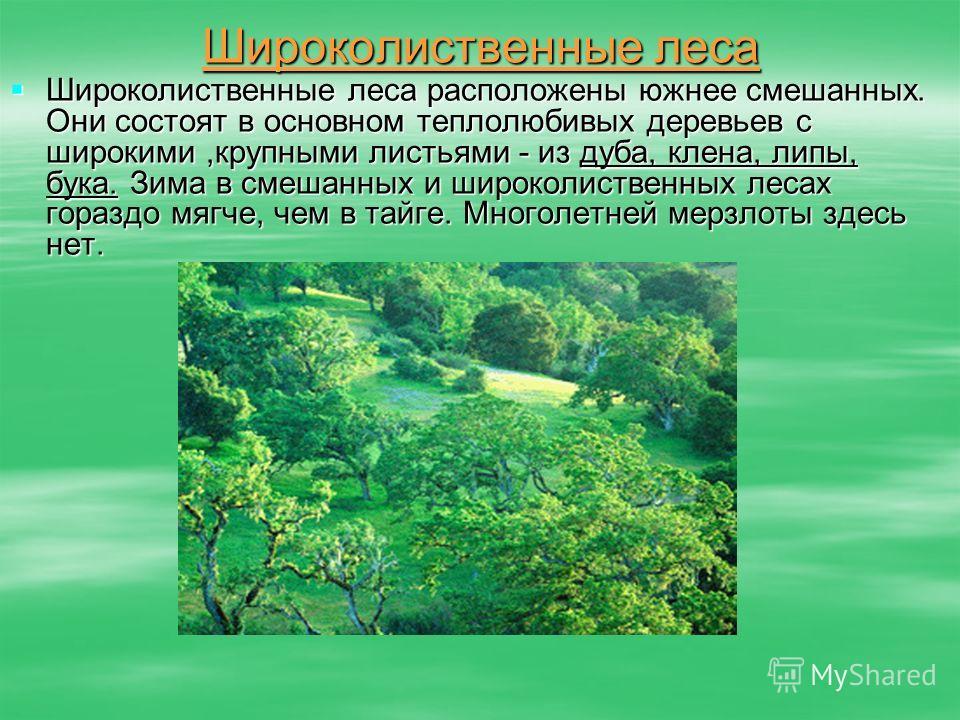 Широколиственные леса Широколиственные леса расположены южнее смешанных. Они состоят в основном теплолюбивых деревьев с широкими,крупными листьями - из дуба, клена, липы, бука. Зима в смешанных и широколиственных лесах гораздо мягче, чем в тайге. Мно