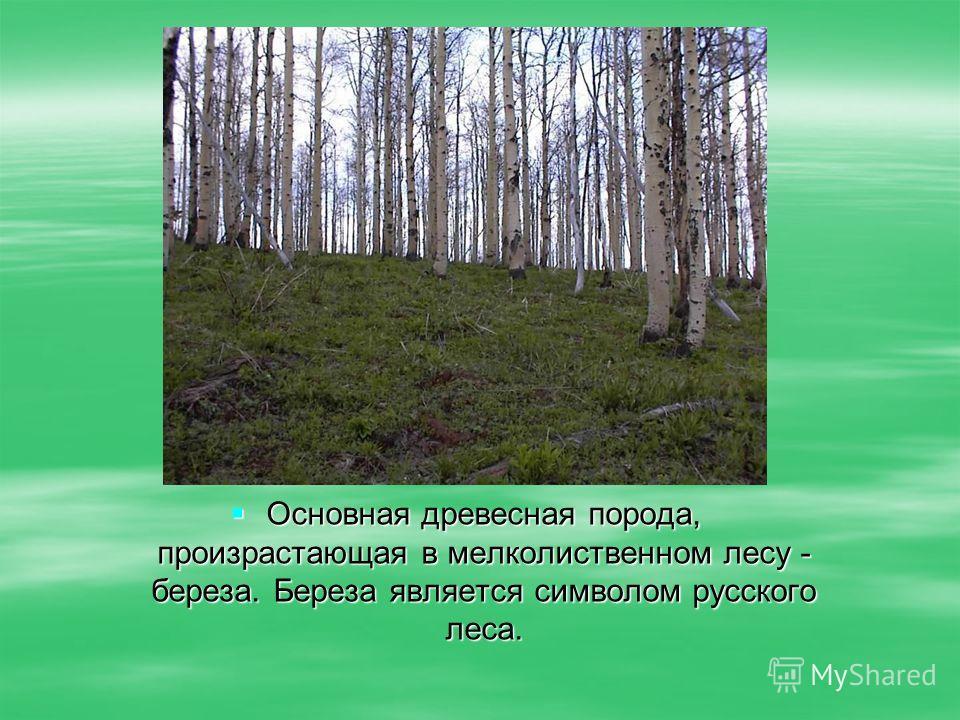 Основная древесная порода, произрастающая в мелколиственном лесу - береза. Береза является символом русского леса. Основная древесная порода, произрастающая в мелколиственном лесу - береза. Береза является символом русского леса.