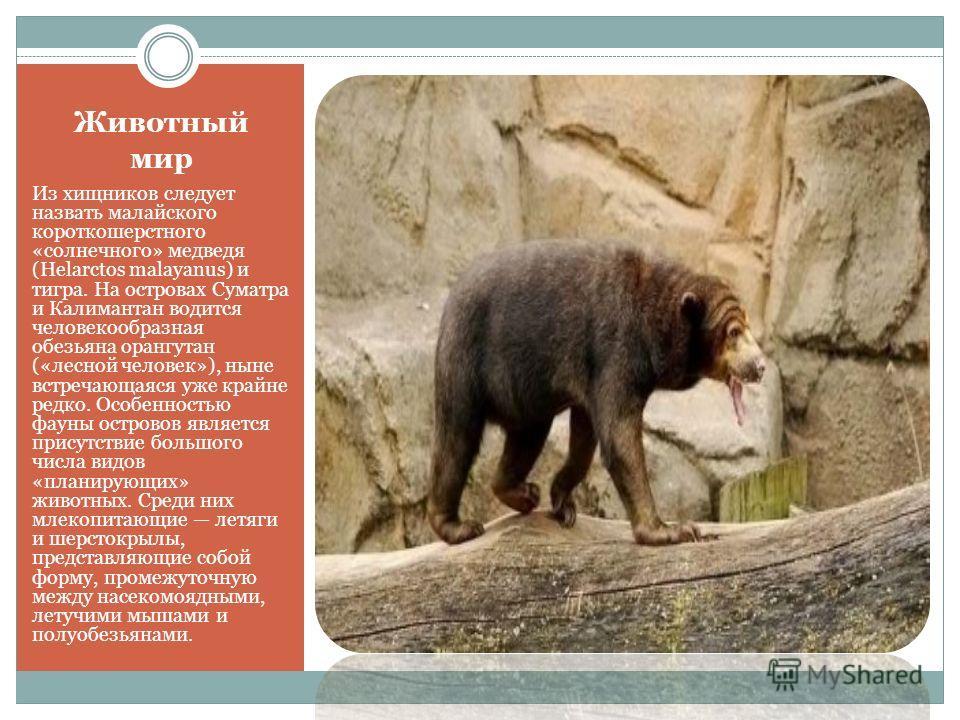Животный мир Из хищников следует назвать малайского короткошерстного «солнечного» медведя (Helarctos malayanus) и тигра. На островах Суматра и Калимантан водится человекообразная обезьяна орангутан («лесной человек»), ныне встречающаяся уже крайне ре