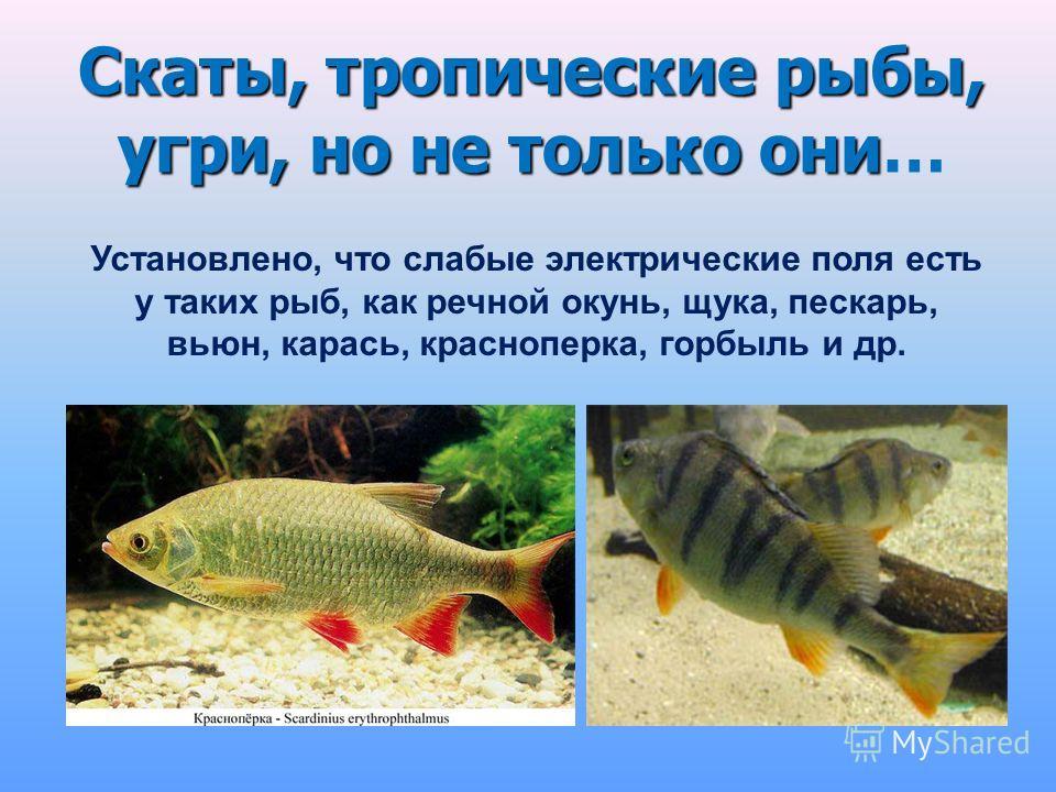 Скаты, тропические рыбы, угри, но не только они Скаты, тропические рыбы, угри, но не только они… Установлено, что слабые электрические поля есть у таких рыб, как речной окунь, щука, пескарь, вьюн, карась, красноперка, горбыль и др.