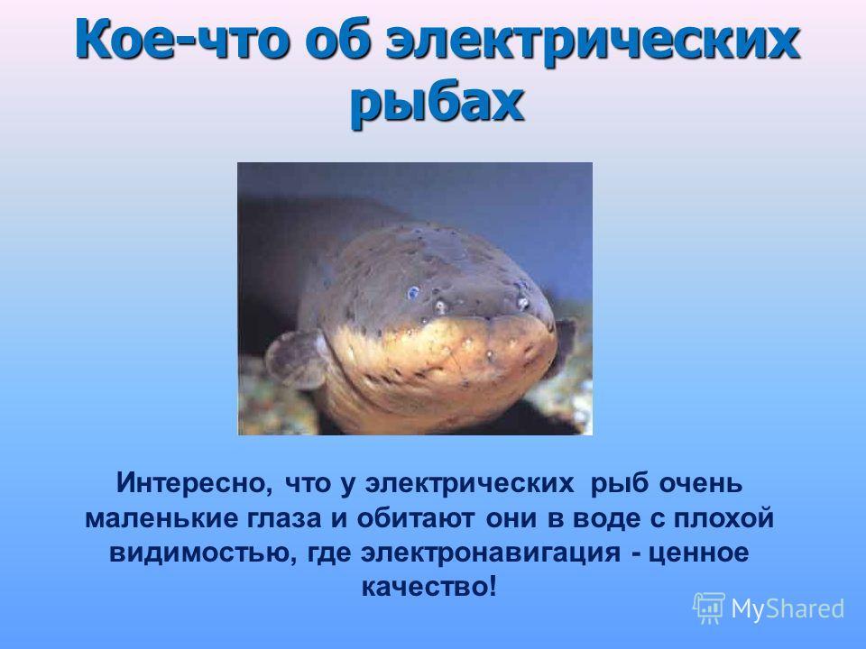 Кое-что об электрических рыбах Интересно, что у электрических рыб очень маленькие глаза и обитают они в воде с плохой видимостью, где электронавигация - ценное качество!