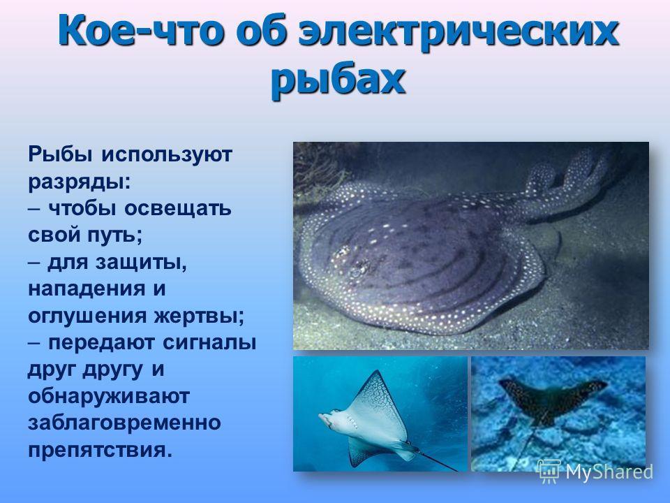 Рыбы используют разряды: –чтобы освещать свой путь; –для защиты, нападения и оглушения жертвы; –передают сигналы друг другу и обнаруживают заблаговременно препятствия. Кое-что об электрических рыбах