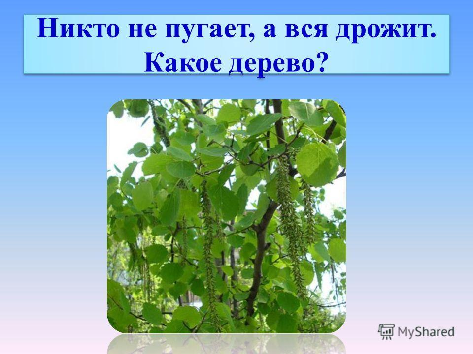 Никто не пугает, а вся дрожит. Какое дерево?