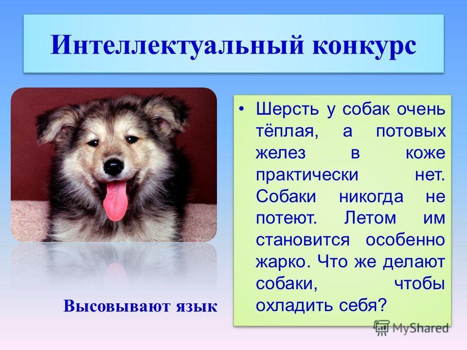 Интеллектуальный конкурс Шерсть у собак очень тёплая, а потовых желез в коже практически нет. Собаки никогда не потеют. Летом им становится особенно жарко. Что же делают собаки, чтобы охладить себя? Высовывают язык