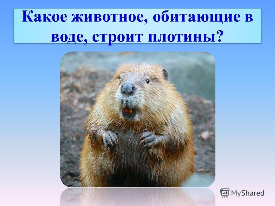 Какое животное, обитающие в воде, строит плотины?