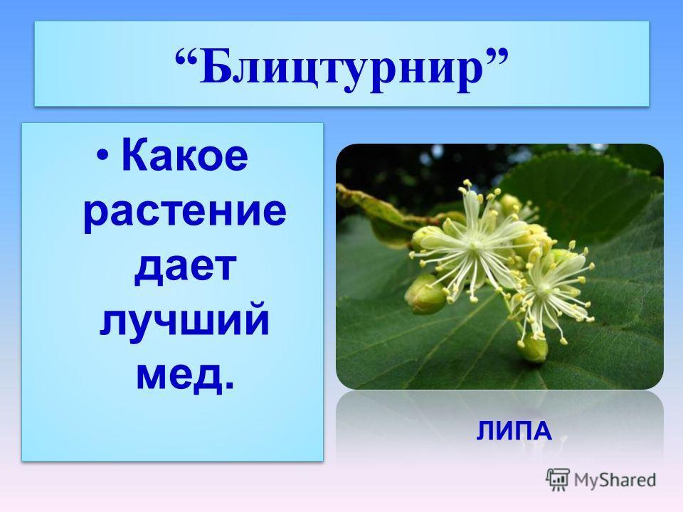 Блицтурнир Какое растение дает лучший мед. ЛИПА