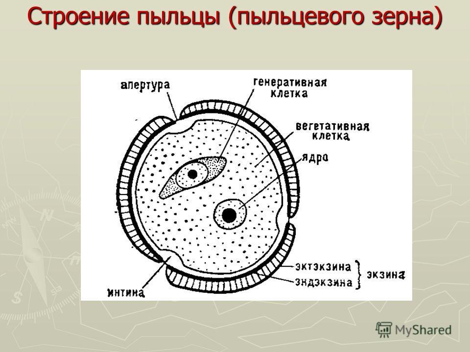 Строение пыльцы (пыльцевого зерна)