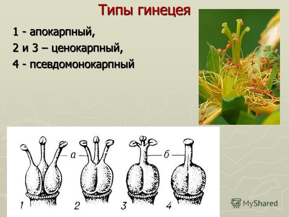 Типы гинецея 1 - апокарпный, 2 и 3 – ценокарпный, 4 - псевдомонокарпный