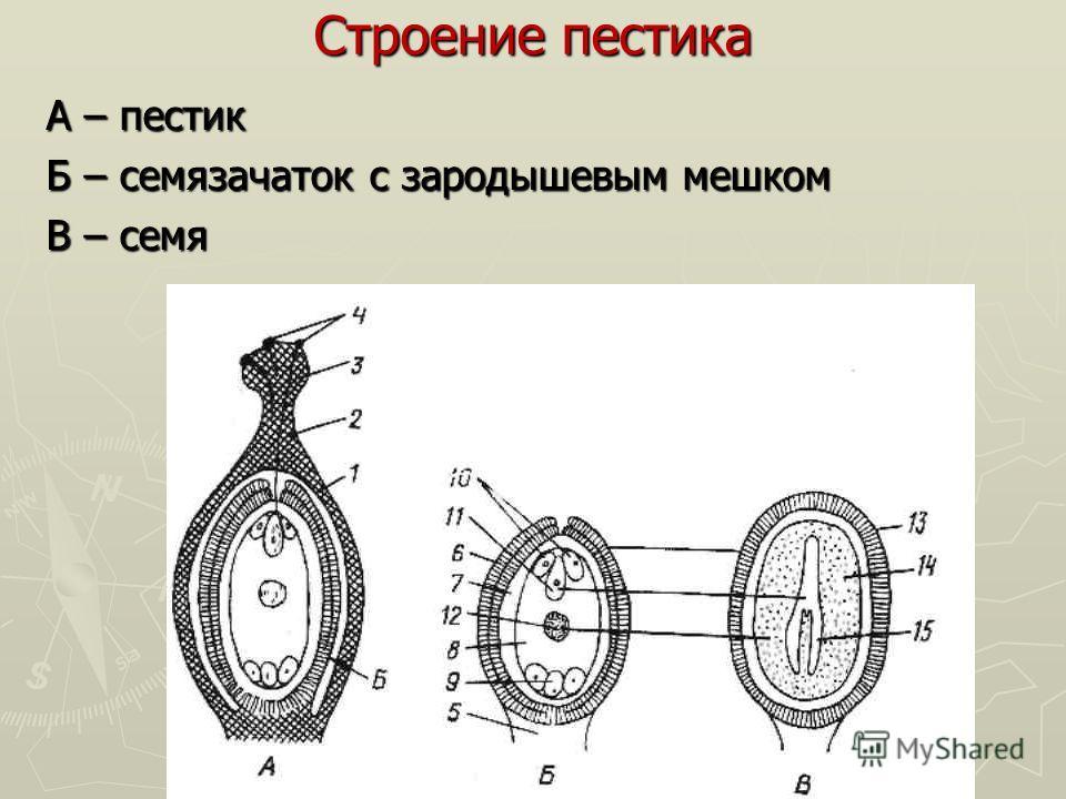 Строение пестика А – пестик Б – семязачаток с зародышевым мешком В – семя