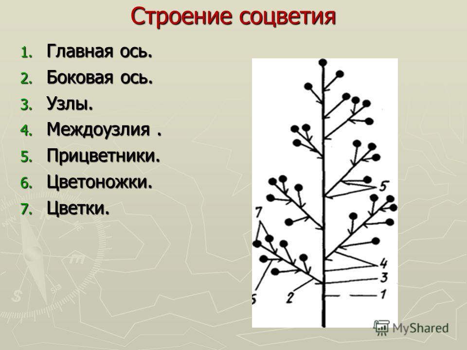 Строение соцветия 1. Главная ось. 2. Боковая ось. 3. Узлы. 4. Междоузлия. 5. Прицветники. 6. Цветоножки. 7. Цветки.