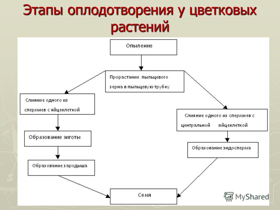 Этапы оплодотворения у цветковых растений