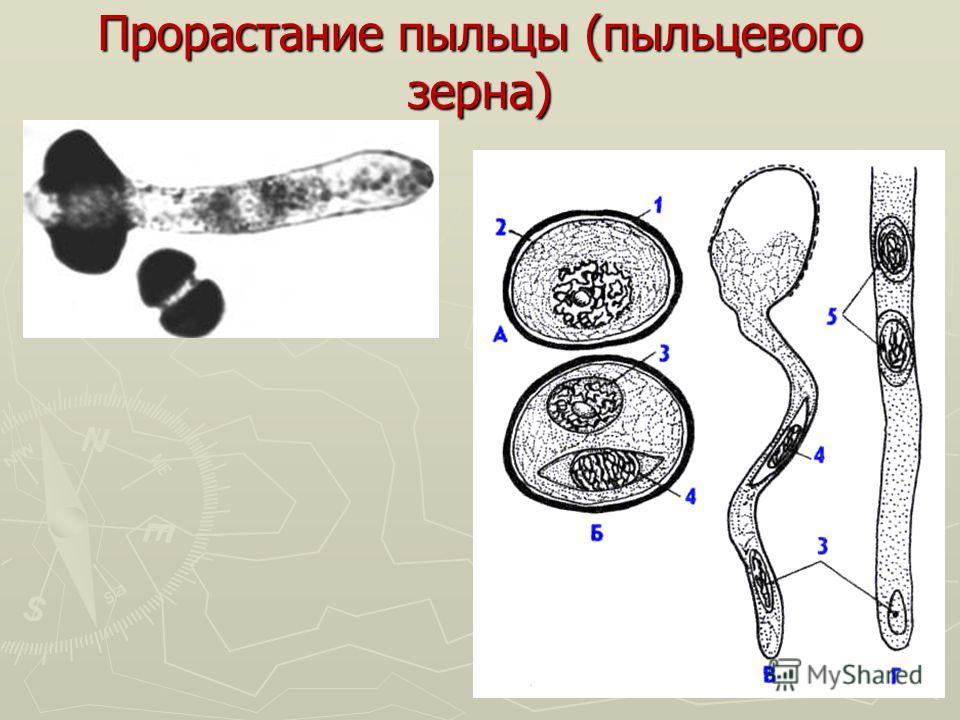 Прорастание пыльцы (пыльцевого зерна)