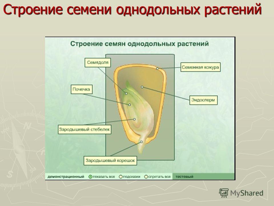 Строение семени однодольных растений