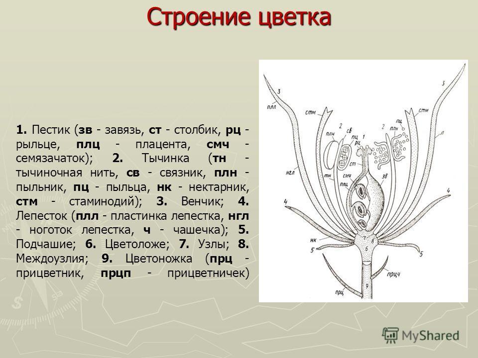 Строение цветка 1. Пестик (зв - завязь, ст - столбик, рц - рыльце, плц - плацента, смч - семязачаток); 2. Тычинка (тн - тычиночная нить, св - связник, плн - пыльник, пц - пыльца, нк - нектарник, стм - стаминодий); 3. Венчик; 4. Лепесток (плл - пласти