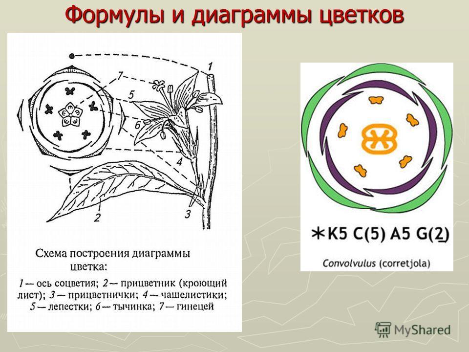 Формулы и диаграммы цветков