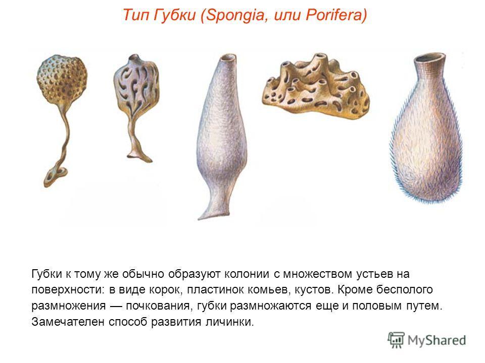 Губки к тому же обычно образуют колонии с множеством устьев на поверхности: в виде корок, пластинок комьев, кустов. Кроме бесполого размножения почкования, губки размножаются еще и половым путем. Замечателен способ развития личинки. Тип Губки (Spongi