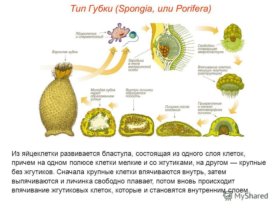 Из яйцеклетки развивается бластула, состоящая из одного слоя клеток, причем на одном полюсе клетки мелкие и со жгутиками, на другом крупные без жгутиков. Сначала крупные клетки впячиваются внутрь, затем выпячиваются и личинка свободно плавает, потом