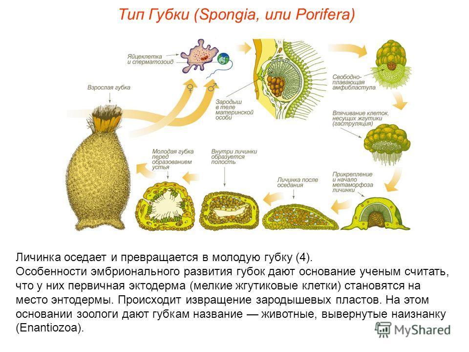 Личинка оседает и превращается в молодую губку (4). Особенности эмбрионального развития губок дают основание ученым считать, что у них первичная эктодерма (мелкие жгутиковые клетки) становятся на место энтодермы. Происходит извращение зародышевых пла