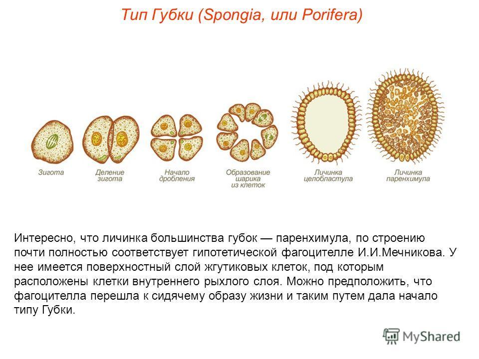Интересно, что личинка большинства губок паренхимула, по строению почти полностью соответствует гипотетической фагоцителле И.И.Мечникова. У нее имеется поверхностный слой жгутиковых клеток, под которым расположены клетки внутреннего рыхлого слоя. Мож