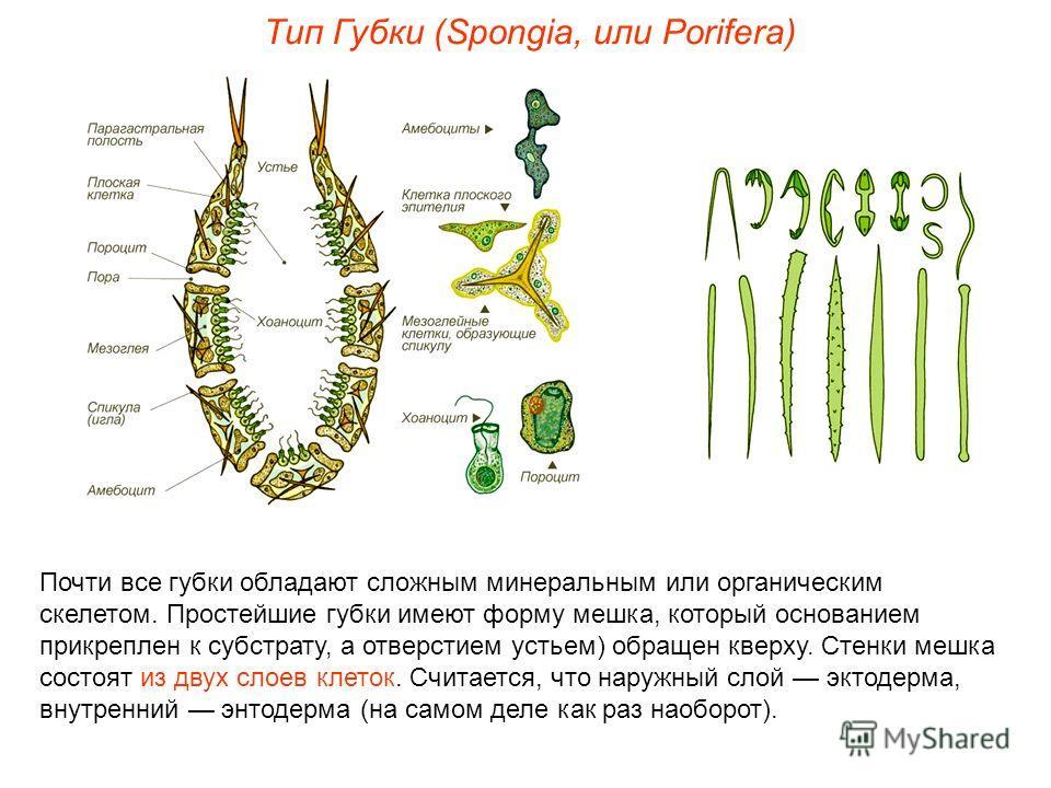 Почти все губки обладают сложным минеральным или органическим скелетом. Простейшие губки имеют форму мешка, который основанием прикреплен к субстрату, а отверстием устьем) обращен кверху. Стенки мешка состоят из двух слоев клеток. Считается, что нару