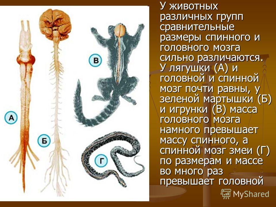 У животных различных групп сравнительные размеры спинного и головного мозга сильно различаются. У лягушки (А) и головной и спинной мозг почти равны, у зеленой мартышки (Б) и игрунки (В) масса головного мозга намного превышает массу спинного, а спинно