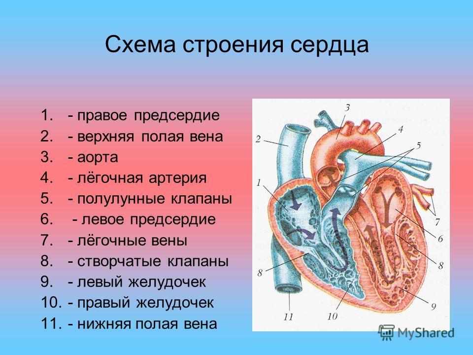Схема строения сердца 1.- правое предсердие 2.- верхняя полая вена 3.- аорта 4.- лёгочная артерия 5.- полулунные клапаны 6. - левое предсердие 7.- лёгочные вены 8.- створчатые клапаны 9.- левый желудочек 10.- правый желудочек 11.- нижняя полая вена