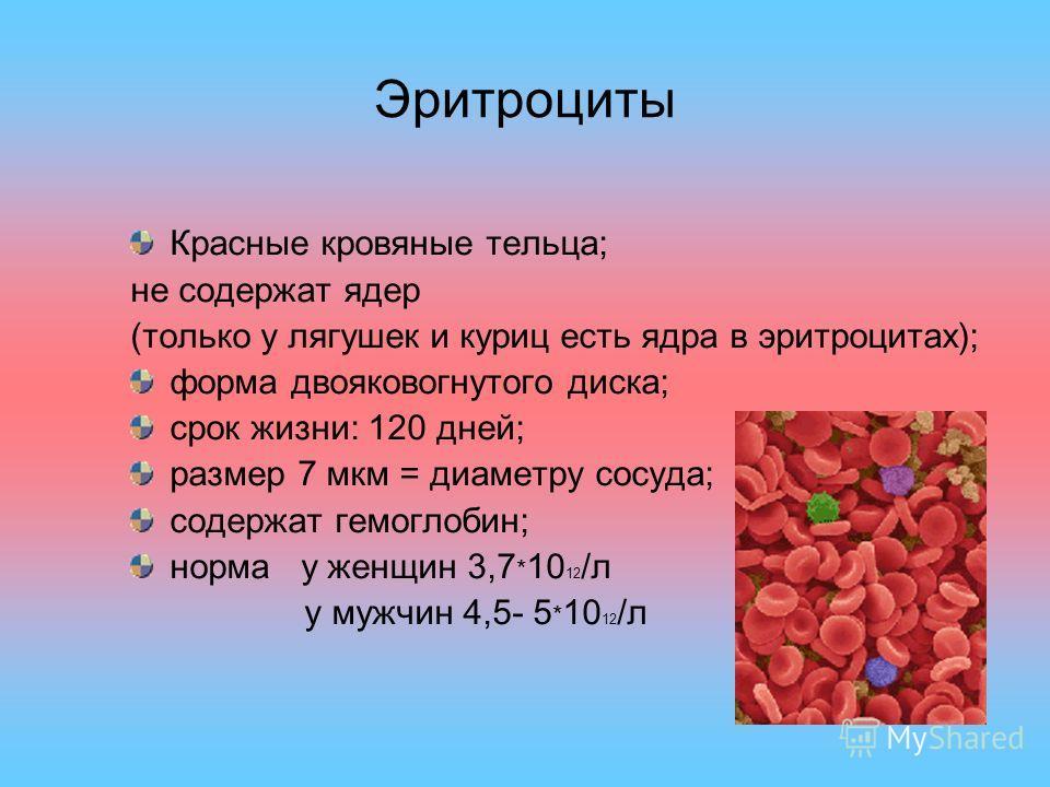 Эритроциты Красные кровяные тельца; не содержат ядер (только у лягушек и куриц есть ядра в эритроцитах); форма двояковогнутого диска; срок жизни: 120 дней; размер 7 мкм = диаметру сосуда; содержат гемоглобин; норма у женщин 3,7 * 10 12 /л у мужчин 4,