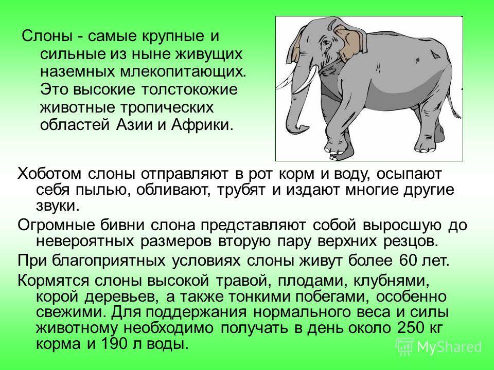Слоны - самые крупные и сильные из ныне живущих наземных млекопитающих. Это высокие толстокожие животные тропических областей Азии и Африки. Хоботом слоны отправляют в рот корм и воду, осыпают себя пылью, обливают, трубят и издают многие другие звуки