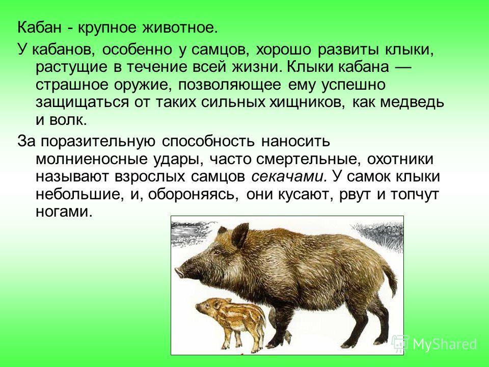 Кабан - крупное животное. У кабанов, особенно у самцов, хорошо развиты клыки, растущие в течение всей жизни. Клыки кабана страшное оружие, позволяющее