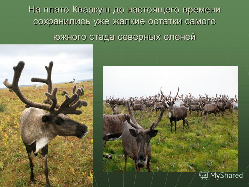 На плато Кваркуш до настоящего времени сохранились уже жалкие остатки самого южного стада северных оленей