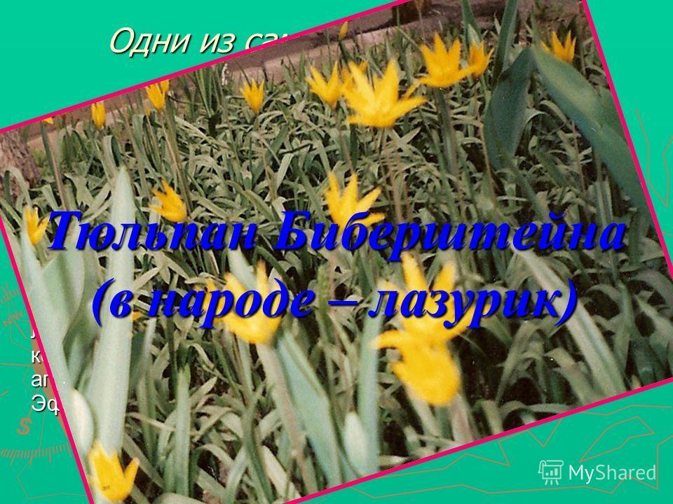 Одни из самых декоративных весенних растений Отличается от обычного степного тюльпана своими малыми размерами и отсутствием на внутренней стороне лепестков тёмных пятен. Лепестки жёлтые, снизу часто зеленованые, длина 1,5-2,5 см, на верхушке заострён